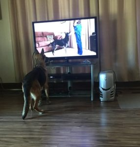 cinder-in-her-new-home-watching-dog-obedience-2