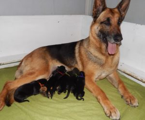 Cinder and pups 4-23-16