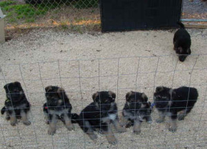 all-puppies-zano-litter