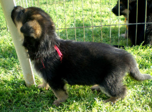 Kiowa-Buck as young pup