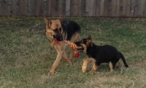 Archer & Auggie with tug 9-26-14
