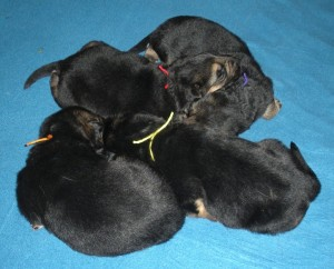 Jazz X Rowdy pups 2 weeks 009 use