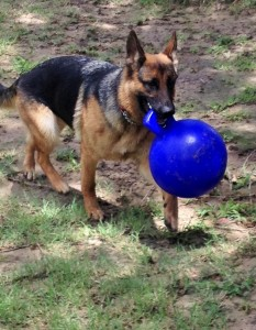 Sept. 2015 Freki carrying new ball